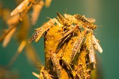 африканский саранчук пустыни Стоковые Фото