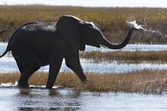 африканский слон Ботсваны Стоковое Изображение RF