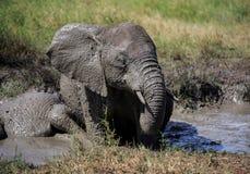 Африканский слон Буша имея ванну грязи Стоковые Изображения RF