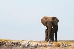 африканский слон величественный Стоковое Изображение RF