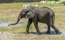 Африканский слон идя на равнину стоковая фотография rf