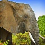 африканский слон Кения Стоковое фото RF
