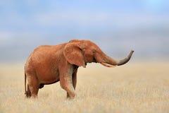 Африканский слон, национальный парк Mara Masai, Кения Стоковые Фото