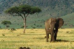 африканский слон Стоковая Фотография RF