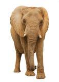 африканский слон Стоковые Фотографии RF