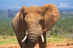 африканский слон Стоковые Изображения