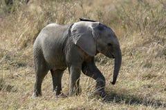 африканский слон Стоковое фото RF