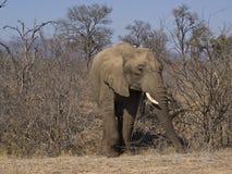 африканский слон Стоковое Фото