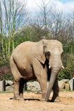 африканский слон Стоковое Изображение RF