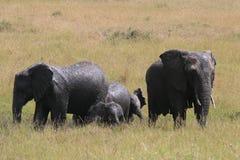 Африканский слон, africana Loxodonta, ванны грязи взятия семьи в солнечном дне Парк Massai Mara, Кения, Африка стоковые фотографии rf