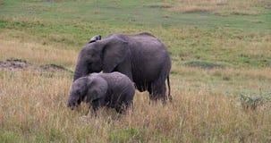 Африканский слон, africana loxodonta, икры, парк Mara Masai в Кении, сток-видео