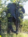Африканский слон, Loxodonta a africana, в национальном парке Moremi, Ботсвана стоковые изображения rf