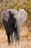 Африканский слон (Loxodonta Africana) Стоковое Фото