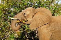 Африканский слон (Loxodonta Africana) Стоковые Фотографии RF