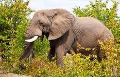 Африканский слон (Loxodonta Africana) Стоковые Фото