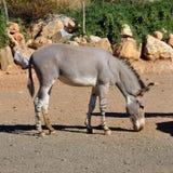 Африканский сомалийский одичалый ишак Стоковые Изображения
