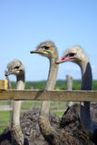 Африканский страус Стоковая Фотография