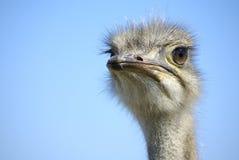 Африканский страус Стоковые Изображения