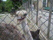 африканский страус Стоковое фото RF