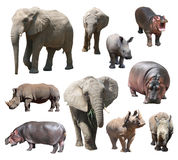 Африканский слон, белый носорог и гиппопотам на белой предпосылке Стоковое Изображение