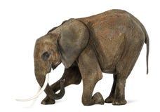 Африканский слон вставать, изолированный Стоковая Фотография RF