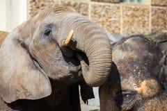 Африканский слон выпивает воду с индийским слоном Стоковые Фотографии RF