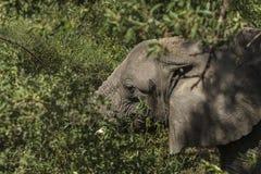 Африканский слон в джунглях Стоковая Фотография