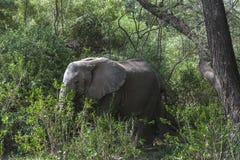Африканский слон в джунглях Стоковое Изображение RF