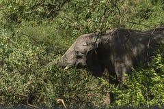 Африканский слон в джунглях Стоковые Фото