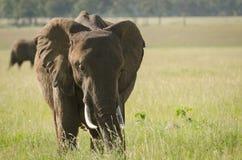 Африканский слон в национальном заповеднике Mara Masai, Кении Стоковое Изображение