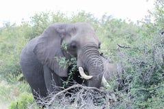 Африканский слон в национальном парке kruger Стоковое Фото