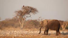Африканский слон в пыли видеоматериал