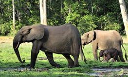 Африканский слон леса, cyclotis africana Loxodonta, (слон жилища леса) таза Конго На Dzanga соляном Стоковые Изображения