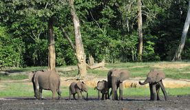 Африканский слон леса, cyclotis africana Loxodonta, (слон жилища леса) таза Конго На Dzanga соляном Стоковое Изображение