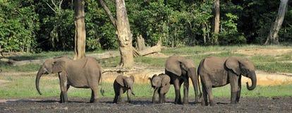Африканский слон леса, cyclotis africana Loxodonta, (слон жилища леса) таза Конго На Dzanga соляном Стоковое фото RF