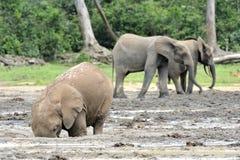 Африканский слон леса, cyclotis africana Loxodonta, таза Конго На Dzanga соляном (расчистка леса) Центральн  Стоковые Фотографии RF