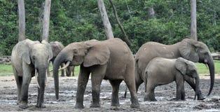 Африканский слон леса, cyclotis africana Loxodonta, таза Конго На Re Dzanga соляном (расчистка леса) центрально-африканском Стоковое Фото