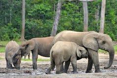 Африканский слон леса, cyclotis africana Loxodonta, таза Конго На Re Dzanga соляном (расчистка леса) центрально-африканском Стоковая Фотография RF