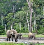 Африканский слон леса, cyclotis africana Loxodonta, таза Конго На Re Dzanga соляном (расчистка леса) центрально-африканском Стоковое Изображение