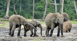 Африканский слон леса, cyclotis africana Loxodonta, таза Конго На Re Dzanga соляном (расчистка леса) центрально-африканском Стоковая Фотография