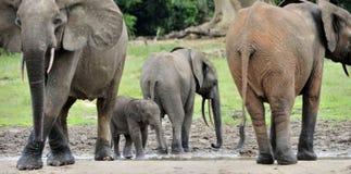 Африканский слон леса, cyclotis africana Loxodonta, таза Конго На Re Dzanga соляном (расчистка леса) центрально-африканском Стоковые Фото