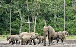 Африканский слон леса, cyclotis africana Loxodonta Стоковые Изображения RF