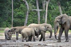 Африканский слон леса, cyclotis africana Loxodonta Стоковое фото RF