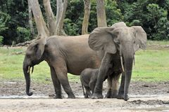 Африканский слон леса, cyclotis africana Loxodonta, Стоковые Изображения