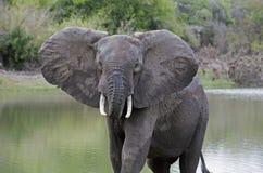 Африканский слон, запас игры Selous, Танзания Стоковая Фотография