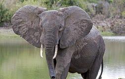 Африканский слон, запас игры Selous, Танзания Стоковая Фотография RF