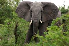 Африканский слон идет к камере Стоковое Фото