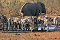 Слон и зебра на waterhole Стоковое фото RF
