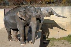 Африканский слон и индийские слоны Стоковые Фото