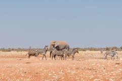 Африканский слон и тинные зебры горы Hartmann Стоковые Изображения
